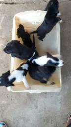 Vendo filhotes de cachorro raça beagle
