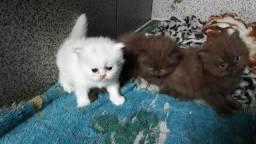 1 casal de gatos persa à venda.Cada um por 750