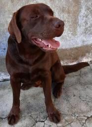 Labrador Marrom Procura Namorada