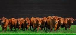 [[5X]] Senepol PO EM 12 parcelas - R$ 9.500 ( Novilhas & Vacas Prenhas )-