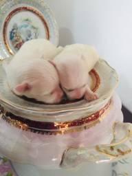 Lindos filhotes Maltês à disposição p reserva ??