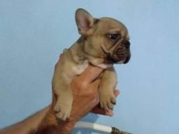 Filhotes de bulldog francês 2 meses com pedigree foto dos pais na última foto