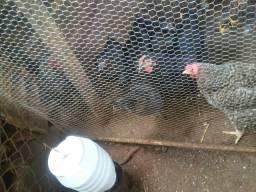 Vende se galinhas