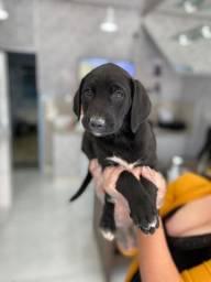 Labrador - Filhotes Machos e Fêmeas
