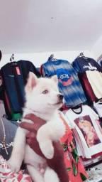 Filhote husky siberiano disponível