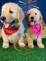 Encantadores Filhotes de Golden Retriever