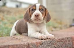 Beagle 13 polegadas, bicolor e tricolor, com suporte veterinário gratuito!