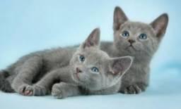 Russian Blue Lindas femeas