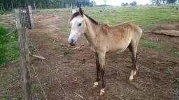 Vendo um potro, filhote de cavalo!