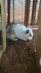 Vendo 2 coelhos macho 50 cada