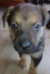 Vendo filhotes de cão pastor alemão.