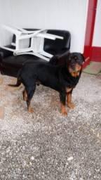 Vendo cão Rottweiler