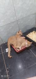 Doação de Dois Gatos Machos