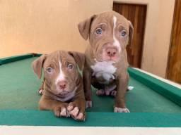 Pitbull - Filhotes macho e fêmea <br>a pronta entrega