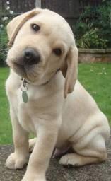 Labrador disponíveis macho e fêmea com garantia