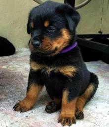 Rottweiler fêmeas e machinhos com garantias de vida e saúde