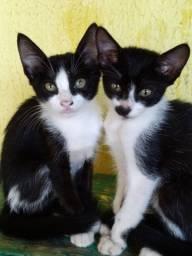Doação de três gatinhos castrados