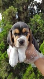 Beagle com suporte veterinário gratuito em 12 vezes no cartão