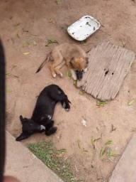 Filhotes de Ovelheiro gaúcho cruzado com Barbudo Uruguaio