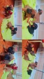 doação de filhote mestiço chow com viralata