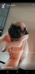 Pug Mini Macho
