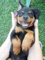 Filhotes de Rottweiler macho fêmea disponíveis com garantia