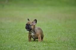 Lindas femêas filhotes de bulldog francês com linhagem importada