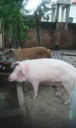 Vendo casal de porcos