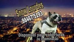 Bulldog Francês exótico para cruza ou inseminação