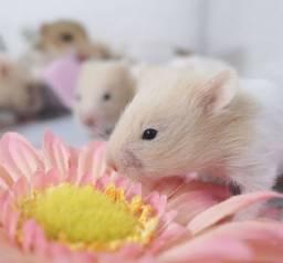 Filhotinhos de hamsters