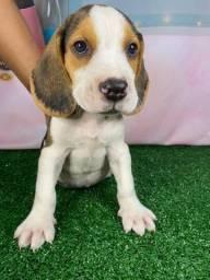 Lindos Filhotes de Beagle Já Disponíveis