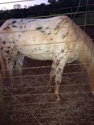 Cavalo Apalusa reliquia