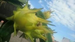 Muda de pitayas amarela golden de Israel