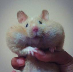 Hamster Sírio + casinha como brinde