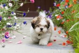 Lhasa Apso cuidados por veterinário