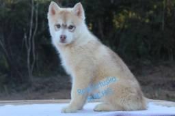 Lindo Machinho de Husky Siberiano Disponível