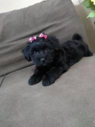 Vendo filhote cachorro lhasa Apso