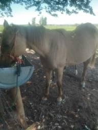 Vendo égua mansa de sela 6 anos