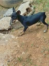 Animal de estimação cachorro pinche 1