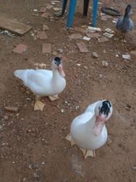 Filhotes de pato e pato adulto