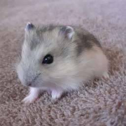 Hamster Filhote Fofo e Manso
