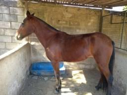 Vendo égua registrada de marcha picada