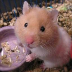 Hamster sírio super dóceis