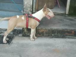 Bull terrier disponível para cruza