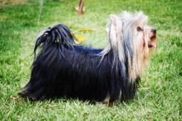 Yorkshire Terrier (York) micro 62 984472366