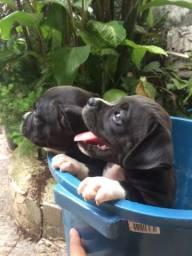 Boxer filhote (preto raridade)