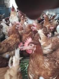 Vendo galinhas poedeira LOMANN BRAWN lote com 84 Início de postura R$32 a cabeça
