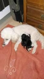 Vendo dois filhotes de poodle preto São as duas fêmeas