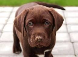 Labrador chocolate com contrato e garantia!!