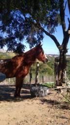 Cavalo - potro mangalarga paulista